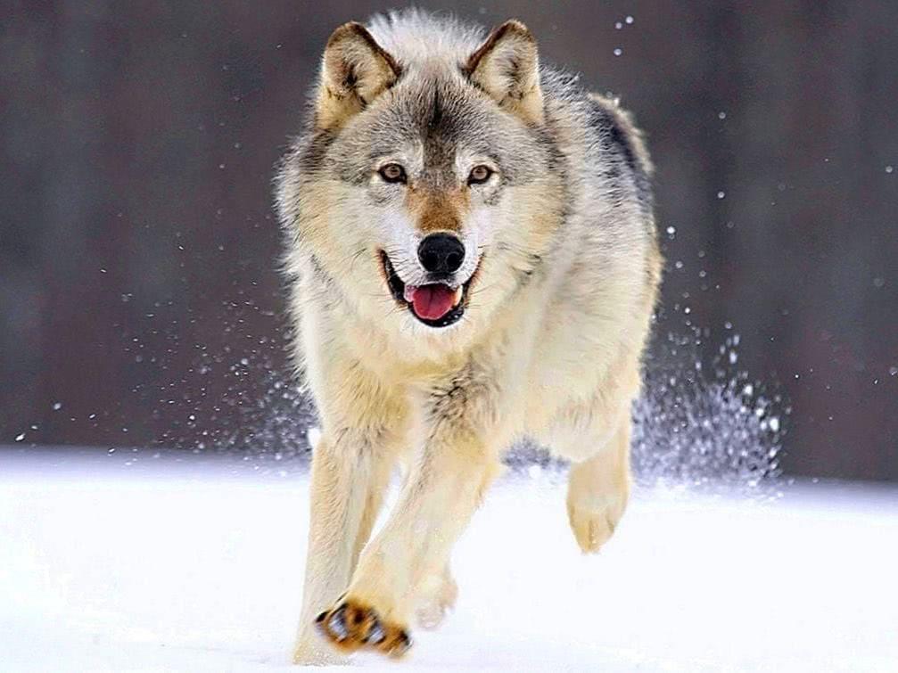 Wolf Wallpapers MacBook