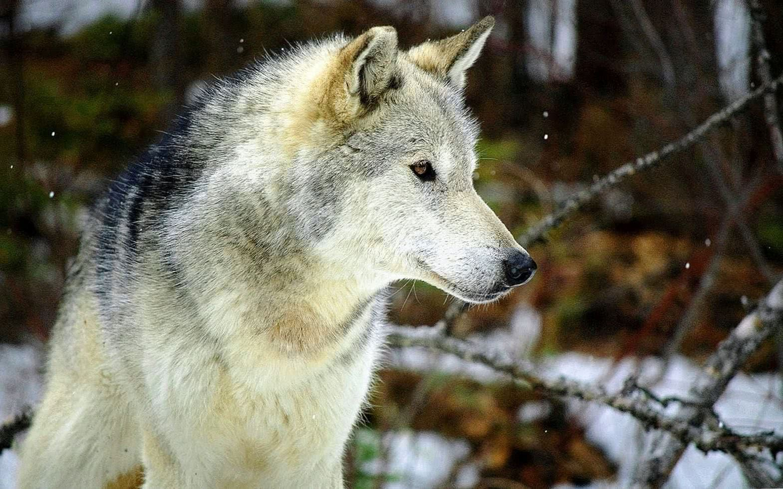 Wolf 1080p Wallpapers HD