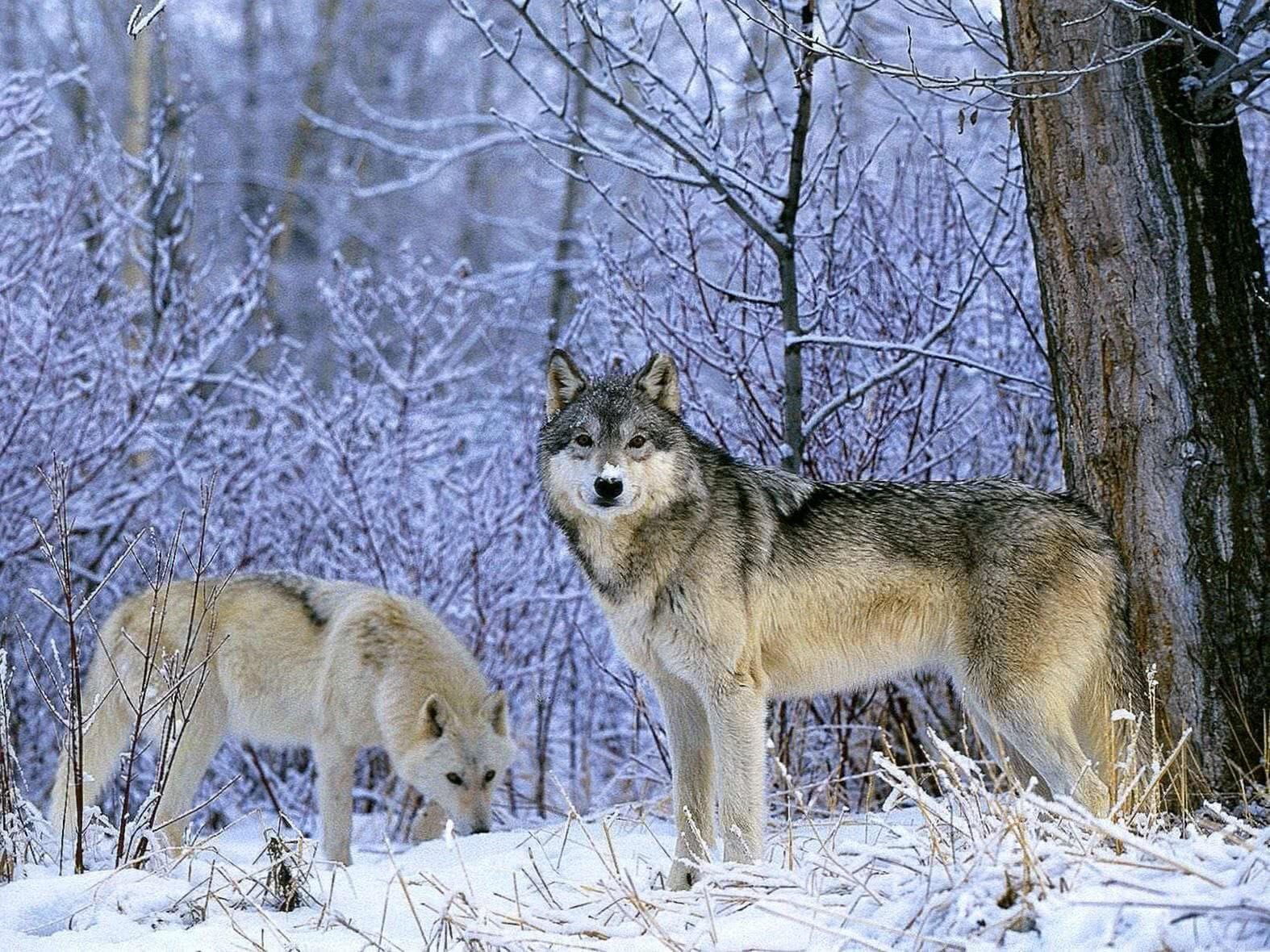 Wallpaper Wolves In The Snow