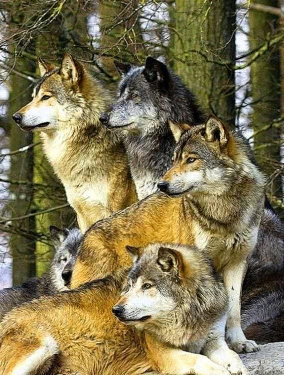 Grey Wolf Pack Wallpapers