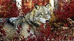 Wolf Wallpapers 1366x768