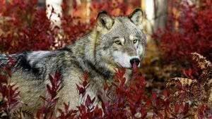 1366x768 Wallpapers Wolves
