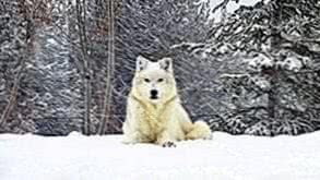 Wolf In Snow HD Wallpapers