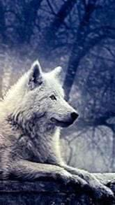 Game Of Thrones Direwolf Wallpapers