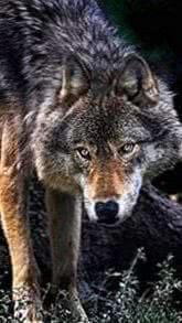 Wolf Wallpapers 360x640