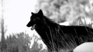 Wolf HD Black Wallpapers