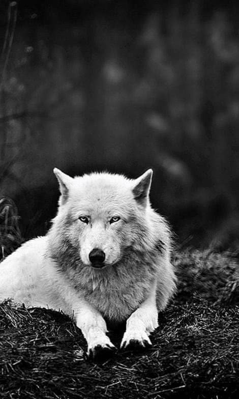 Wolf Wallpapers For Lumia