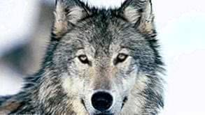 Ultra HD Wallpapers Wolf