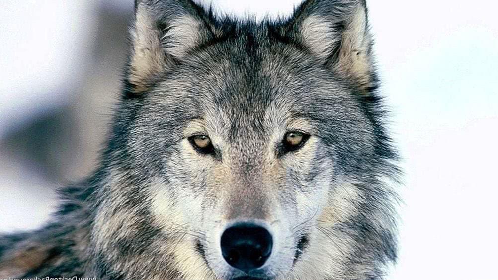 Wallpapers 4K Ultra HD Wolf