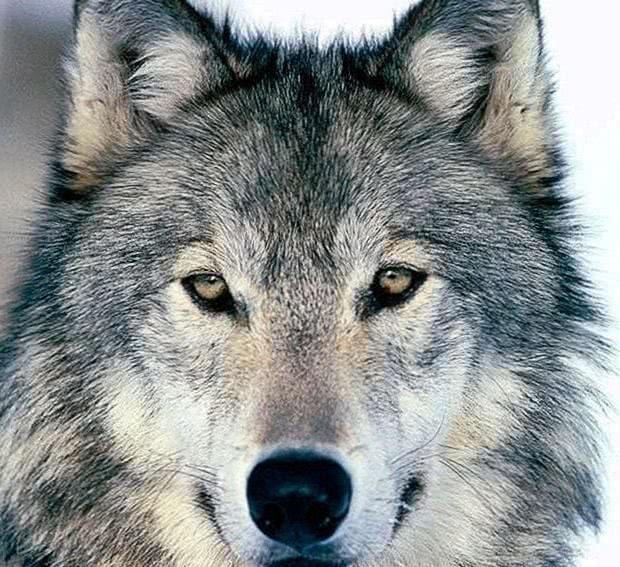 Wolves Wallpaper HD 4K