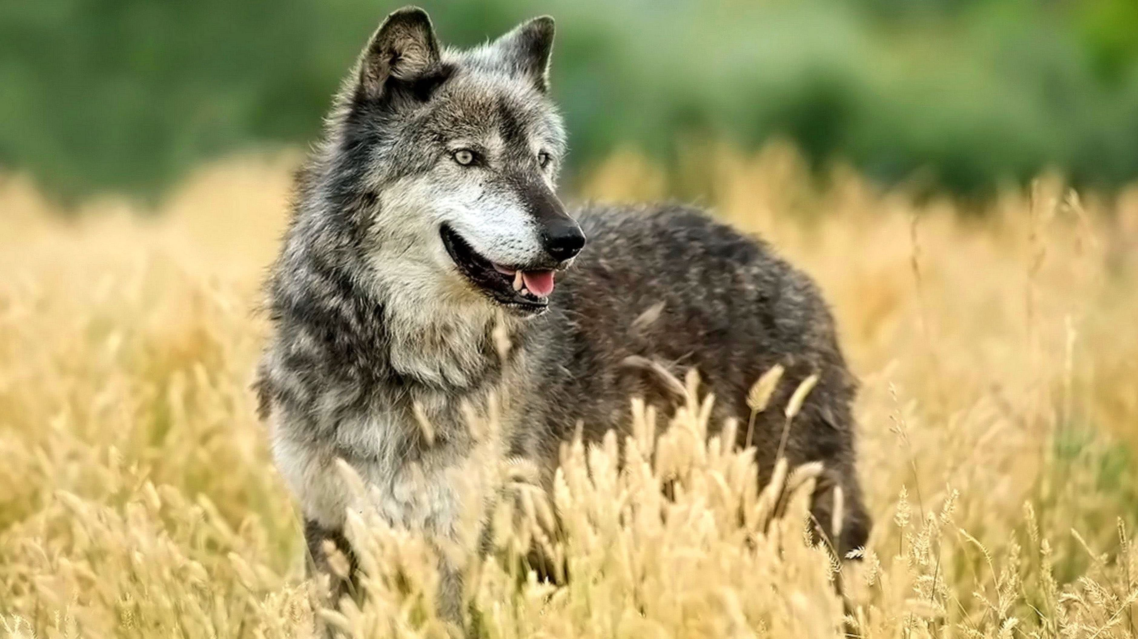 Best 4K Wolf Wallpapers