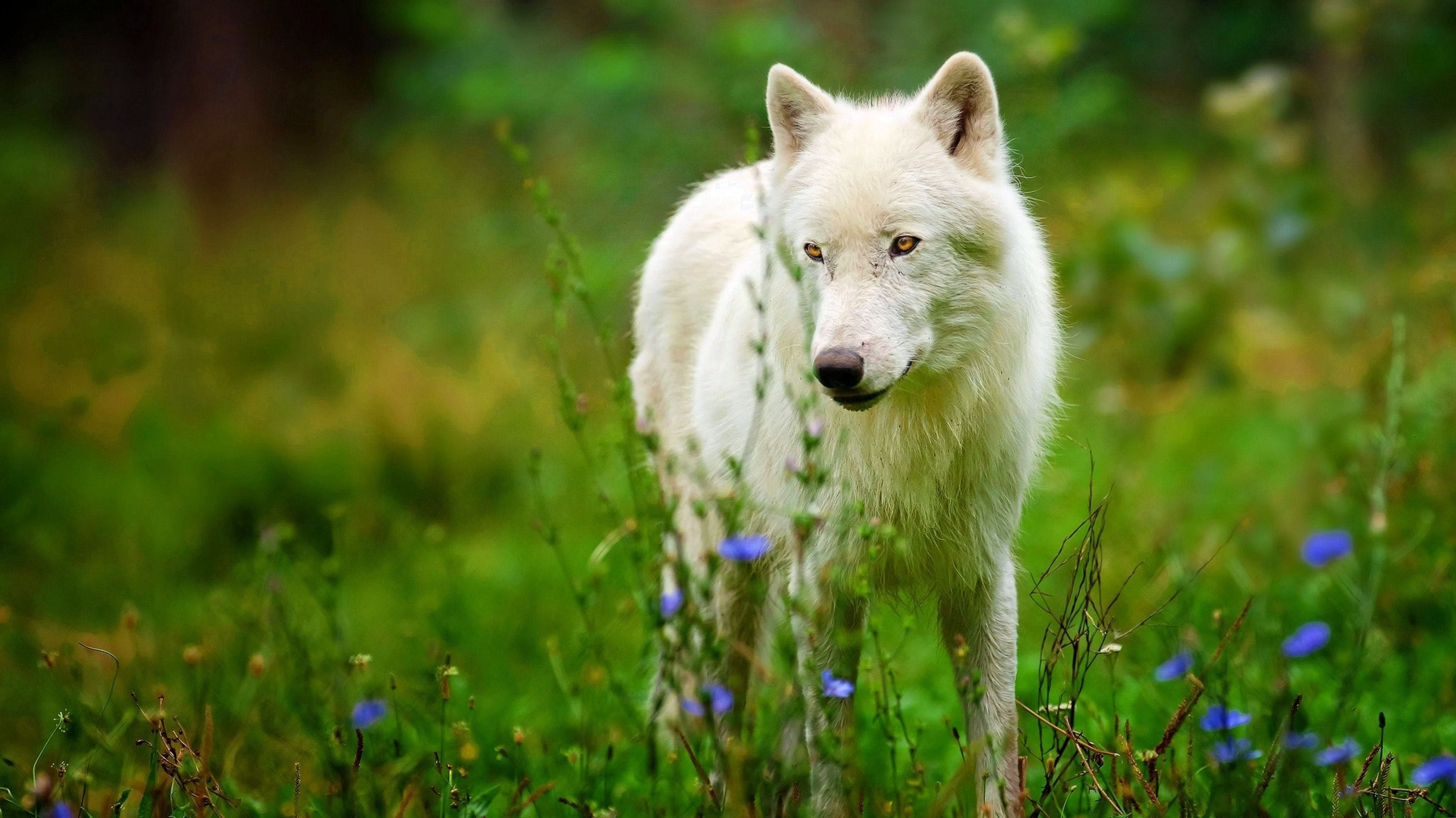 3840×2160 Wallpapers Wolf