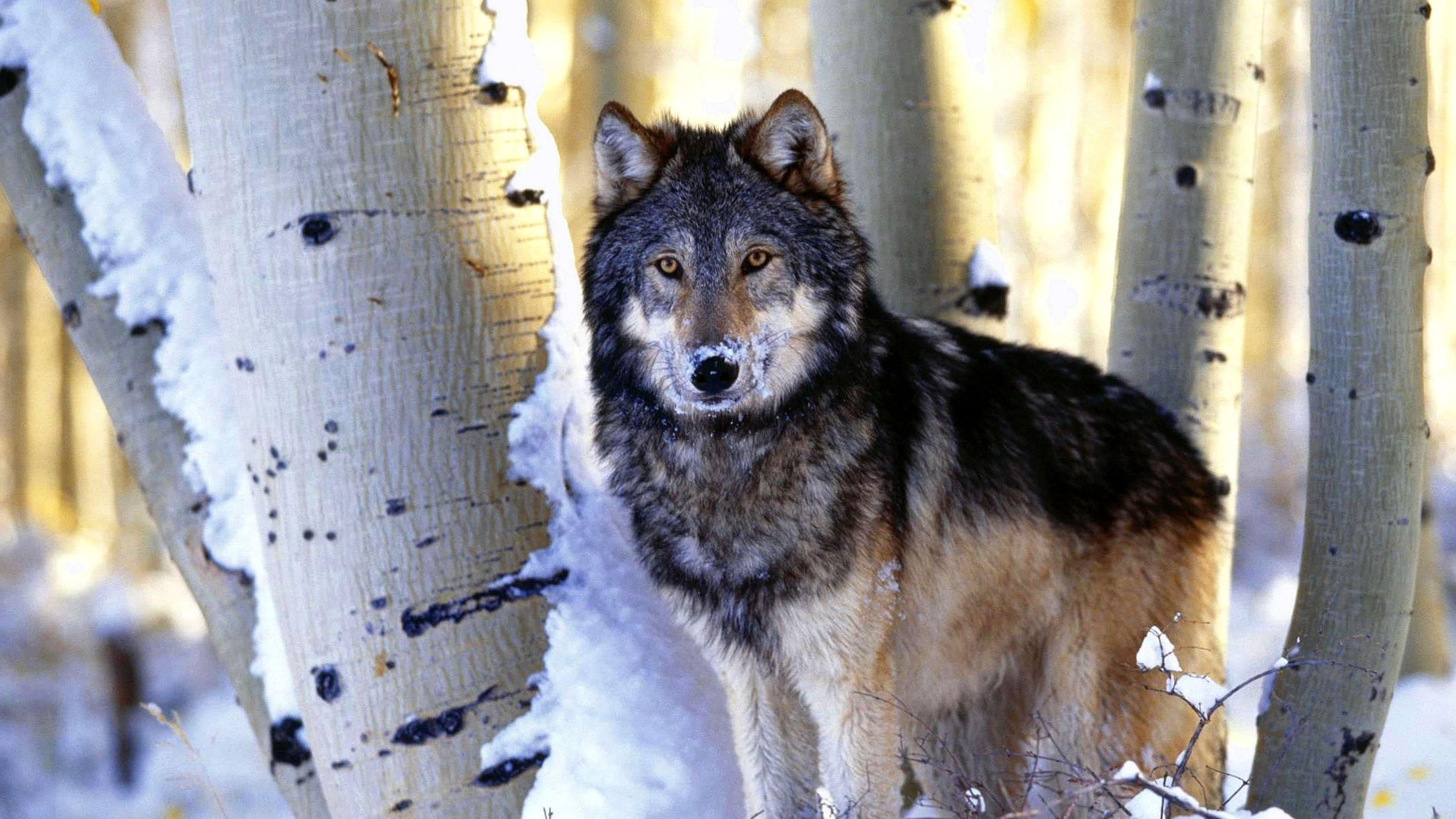 Wolves 4K Wallpaper
