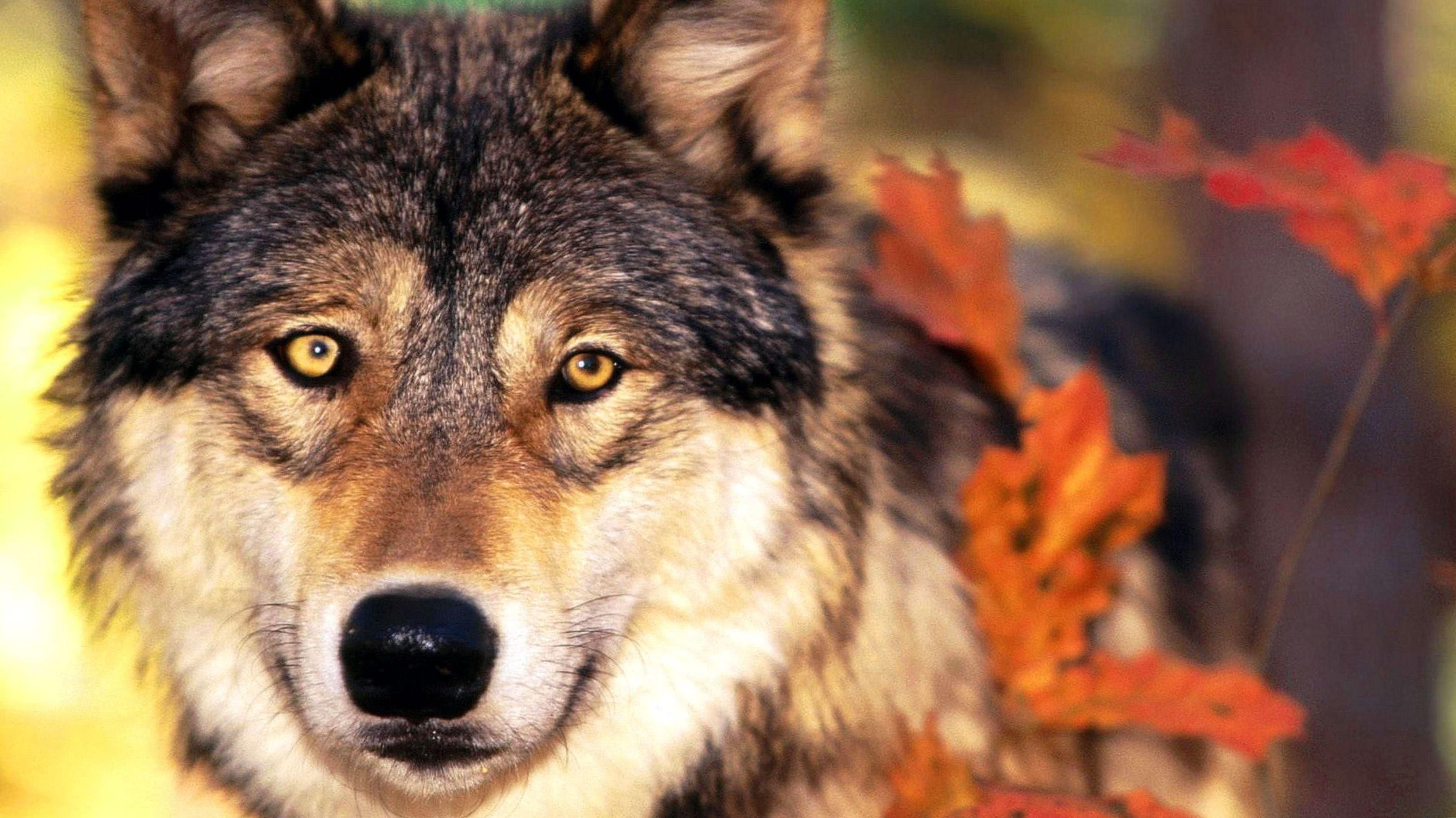 4K Wallpapers Wolf Teeth
