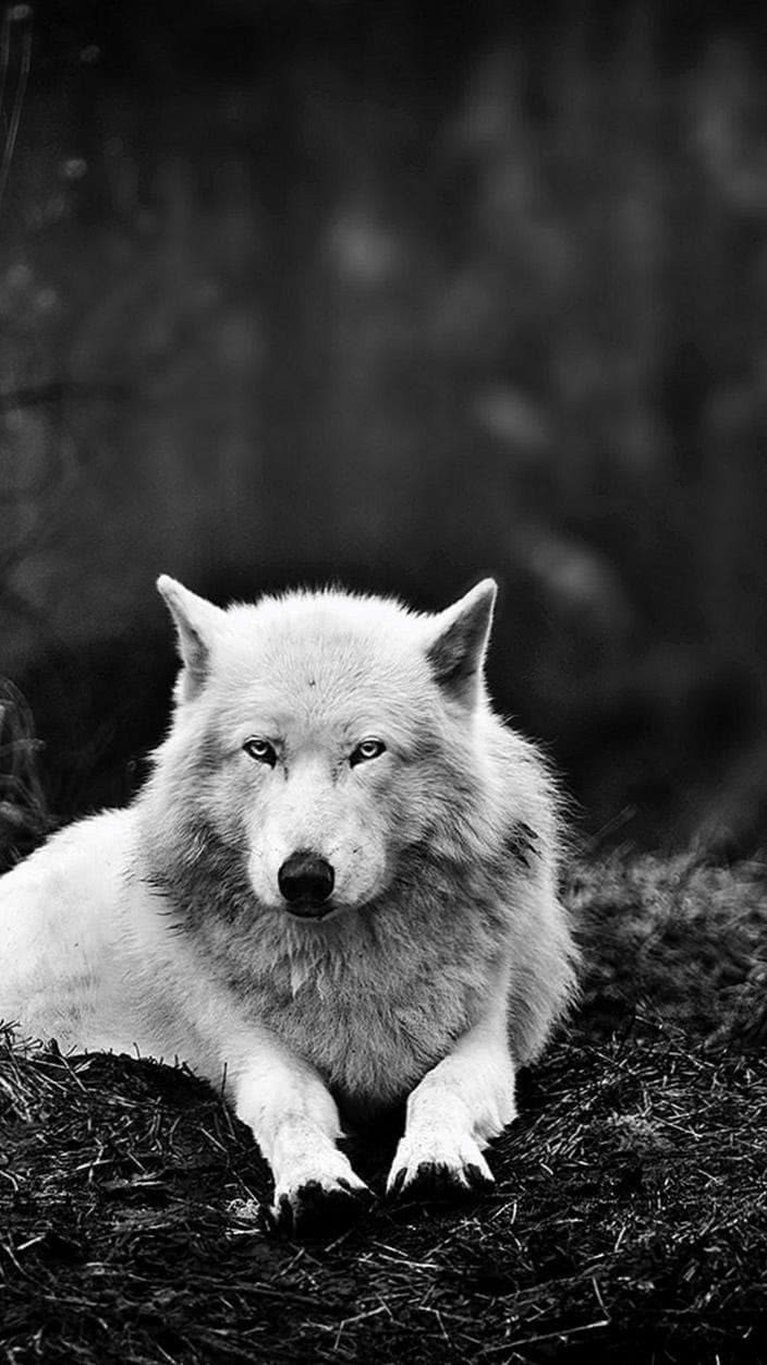 Wallpaper Of Wolf Wild