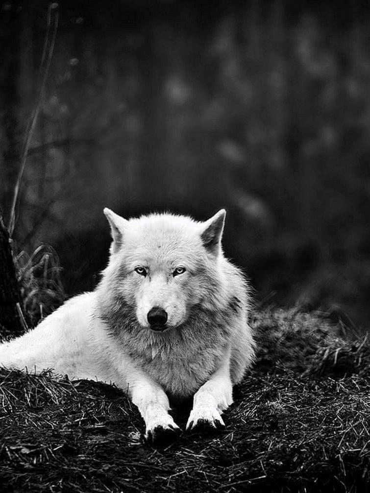 Wolf Snow iPad Wallpaper