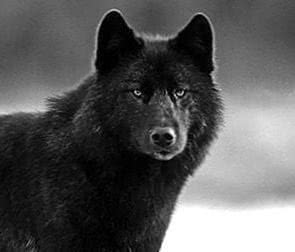 Black Wolf Face Wallpapers
