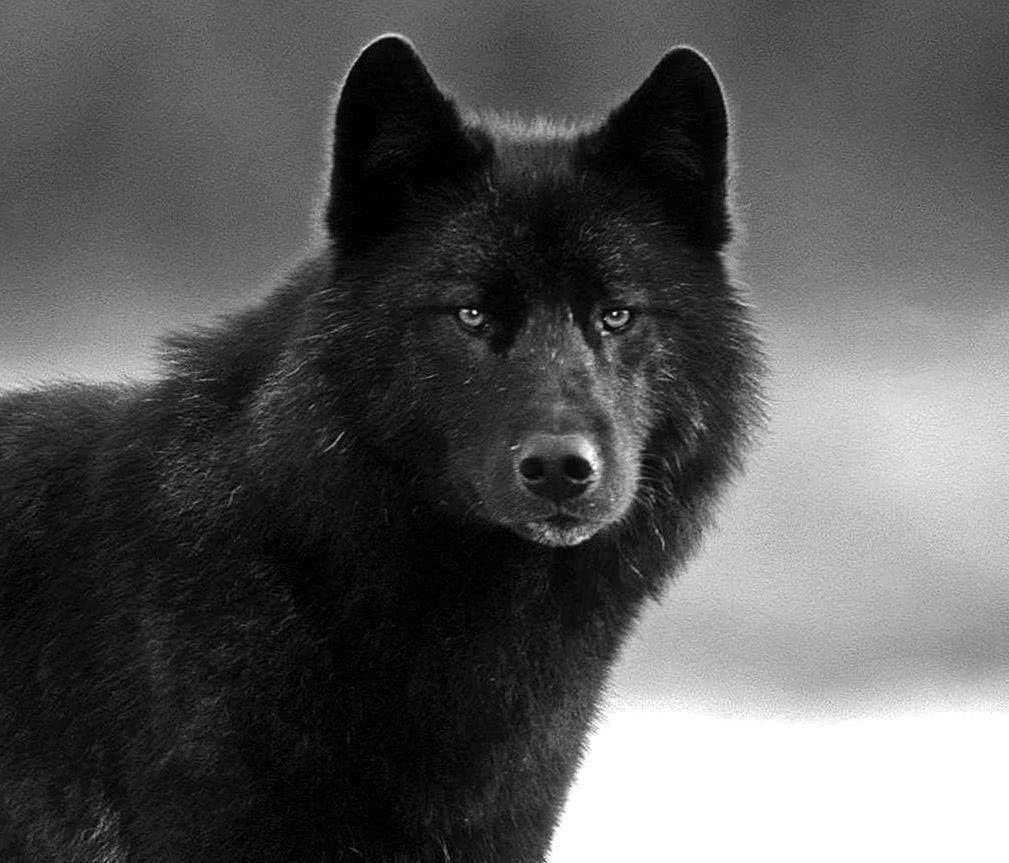 Free Black Wolf Face Wallpapers Wolf Wallpapers Pro