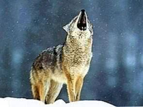 Wolf Wallpapers Howling