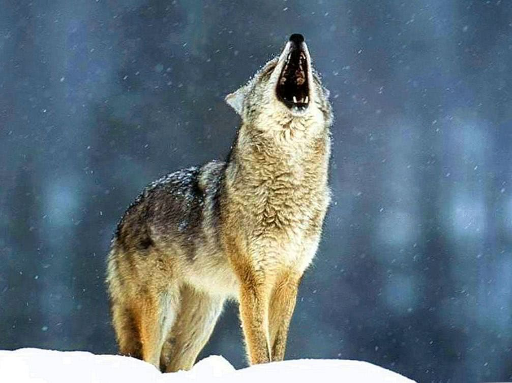 Wolf Howling Images Wallpapers