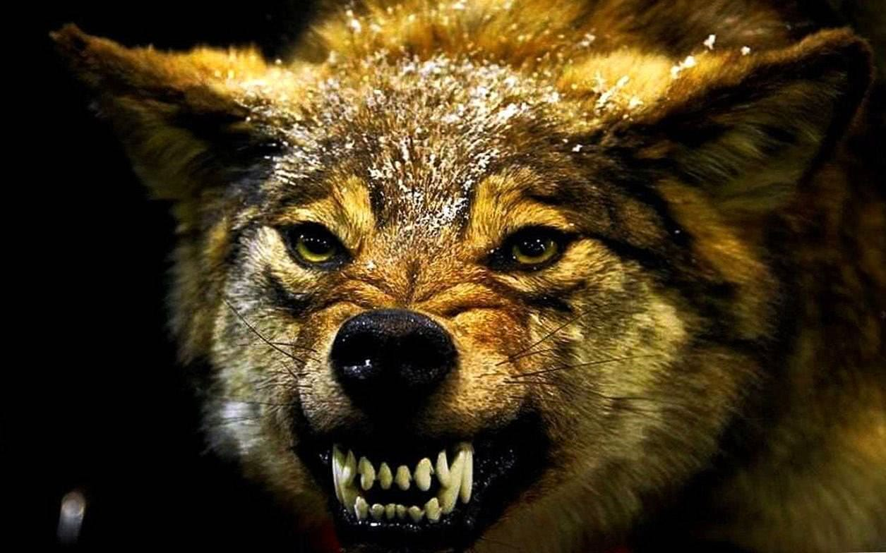 Angry Wolf Wallpapers 4K