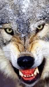 Angry Wolf HD Wallpapers For Mobile