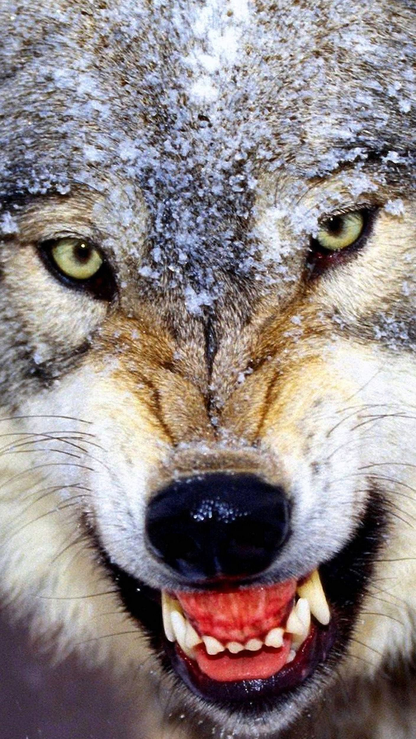 Angry Wolf Pack Wallpaper