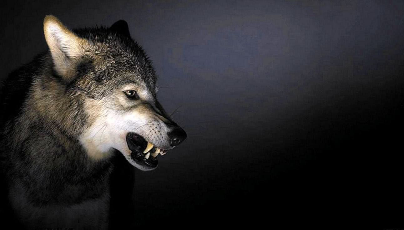 Wallpapers Angry Wolf