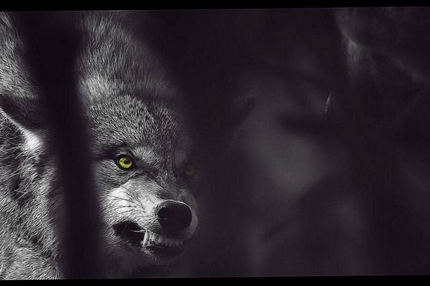 Wolf Mad Wallpapers