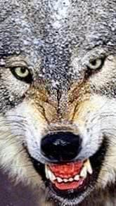 Wolf Angry Wallpapers HD
