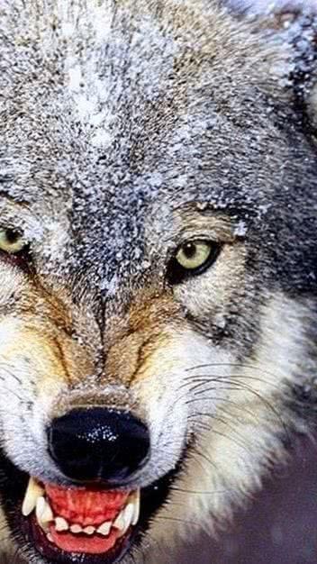 Wolf Wallpaper 1280×720