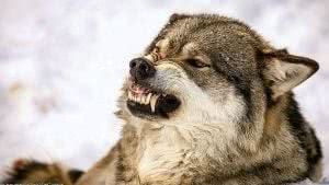 Angry Wolf Face Wallpapers