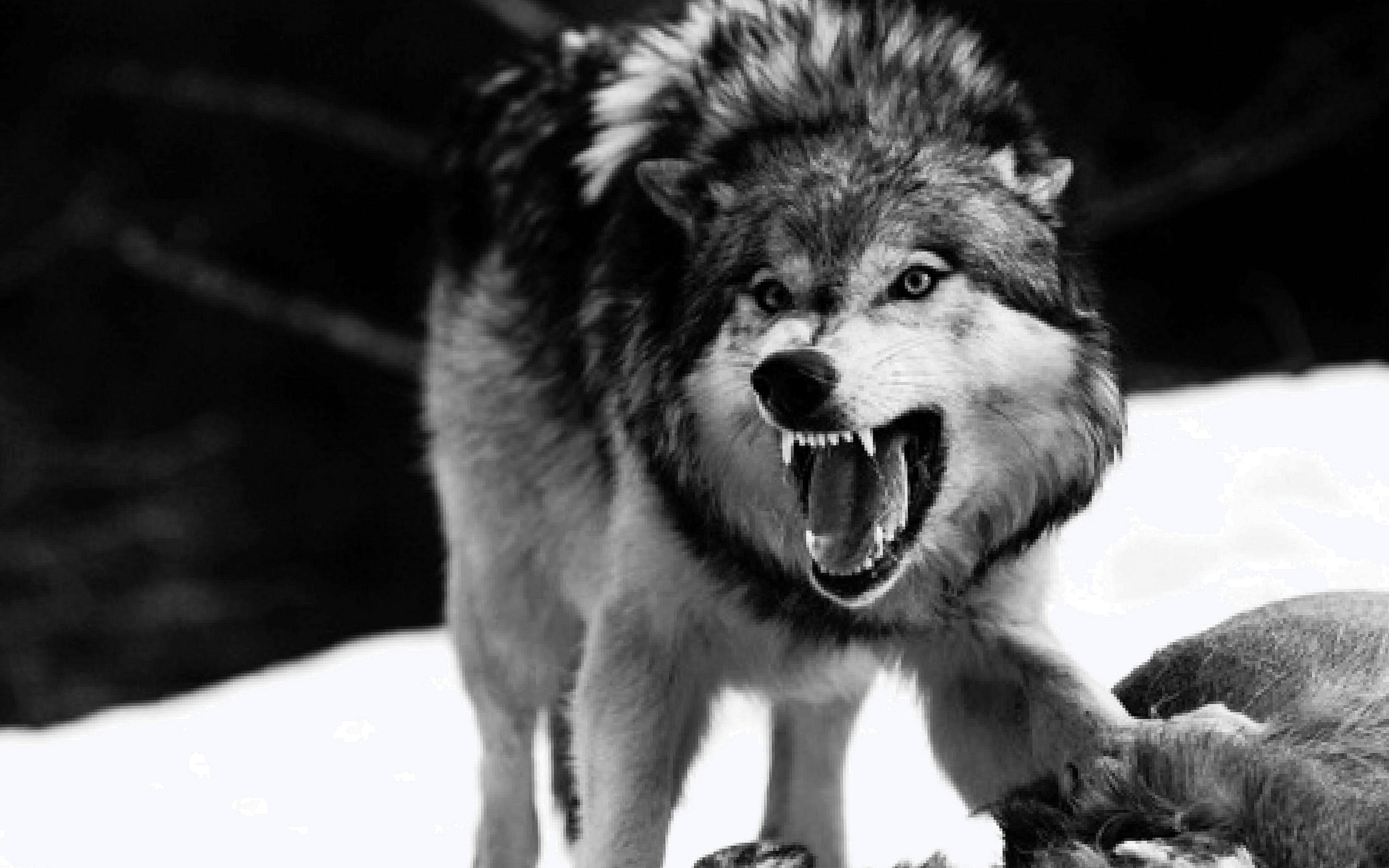 Angry Wolf Wallpapers Cave Wolf Wallpaperspro