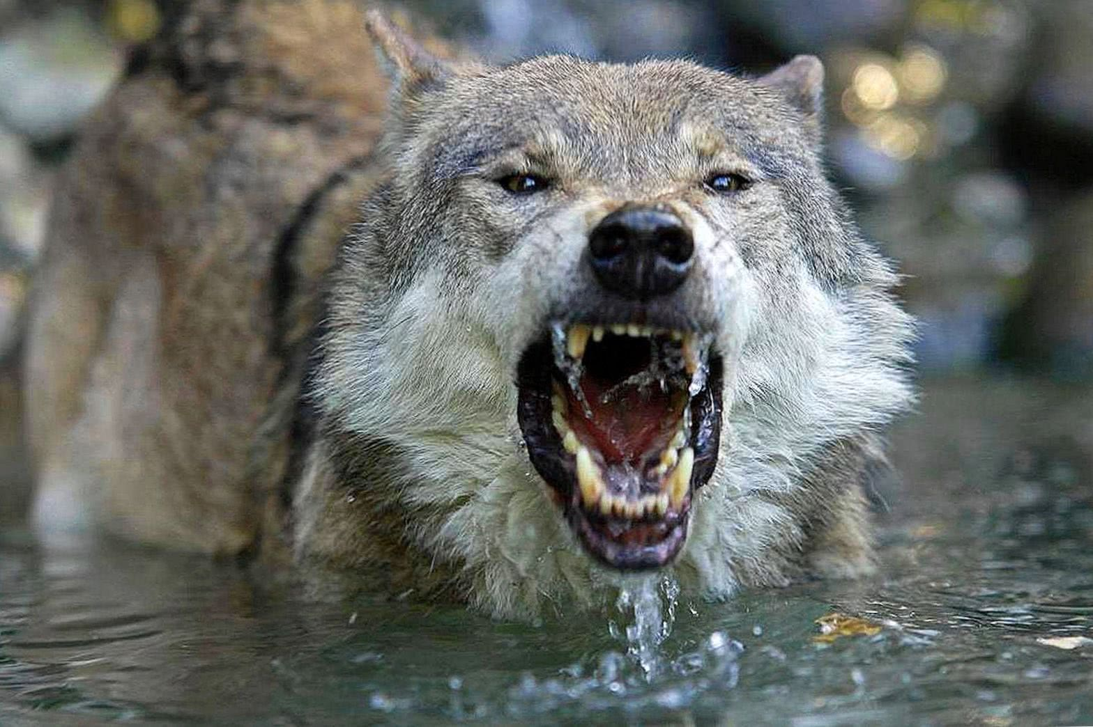 Angry Wolf Wallpapers 4k Wolf Wallpaperspro