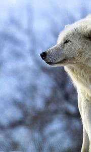 Wolf HD Wallpapers Widescreen