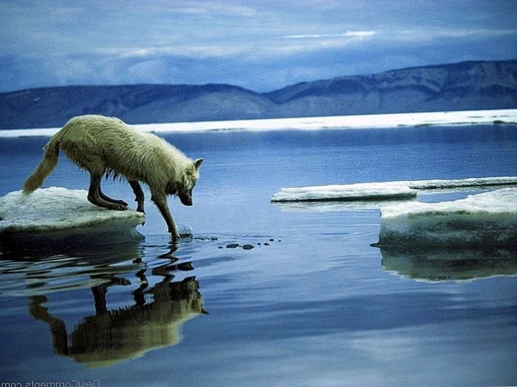 HD Arctic Wolf Wallpapers