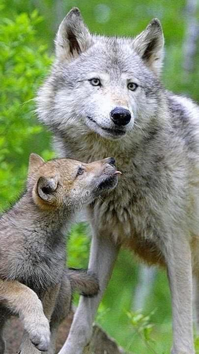 Mobile Baby Wolf Wallpapers