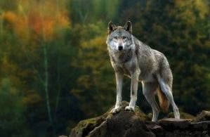 Wallpapers Wolf Nature