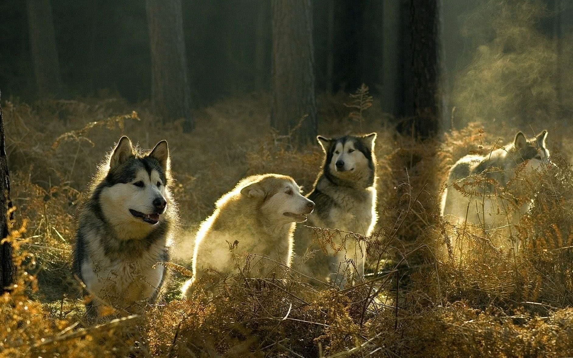 Wolves Forest Wallpapers