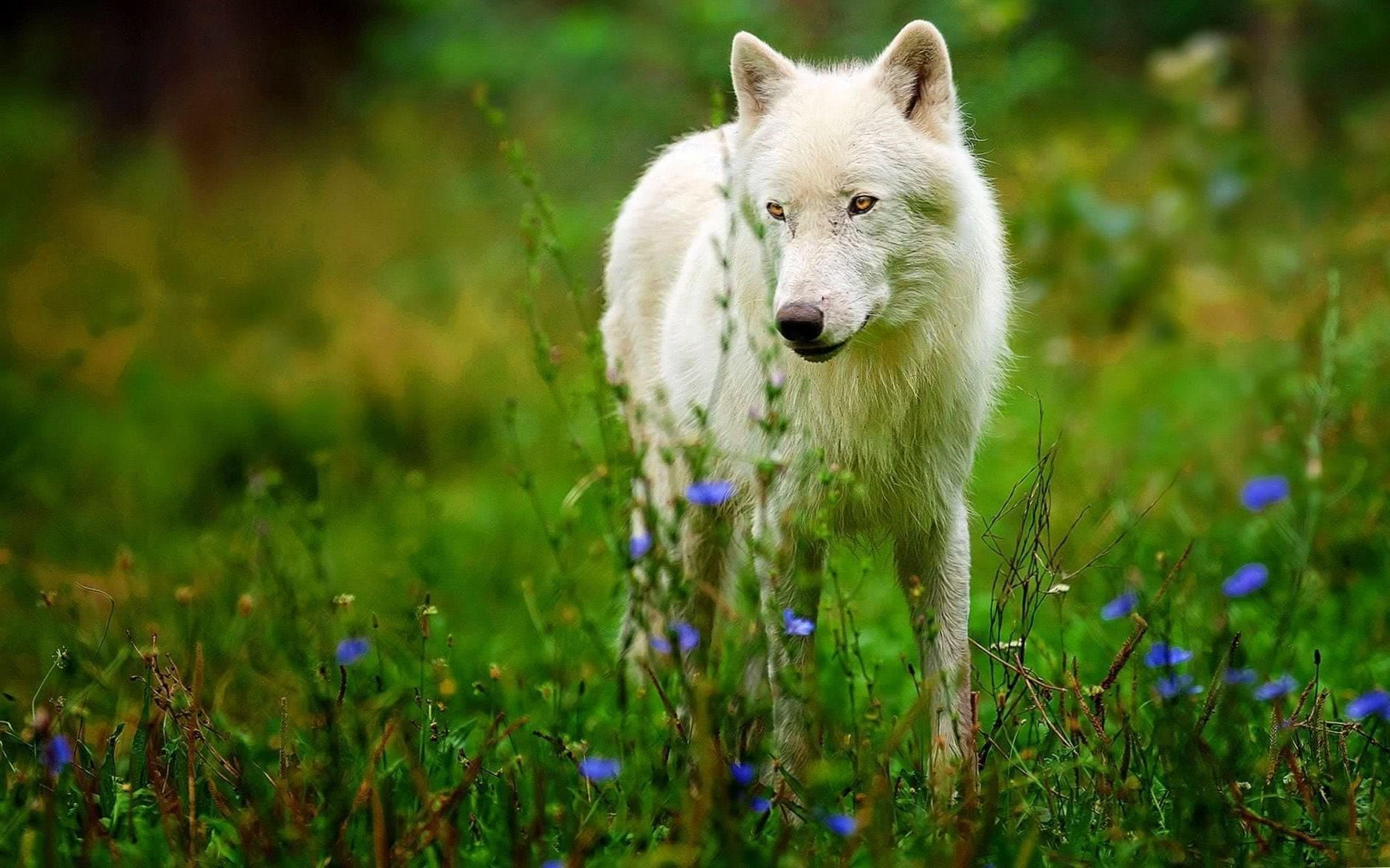 Wolf Wallpapers Flower
