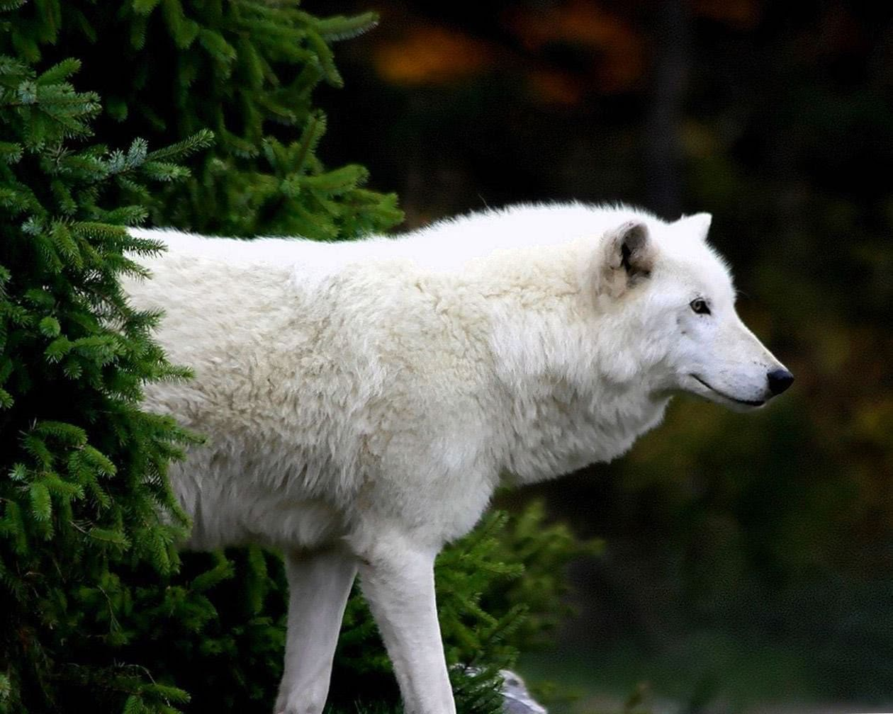 Arctic Wolf Wallpapers Tumblr