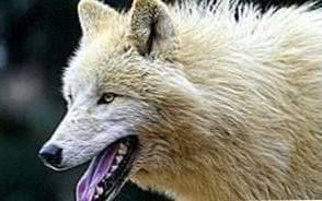 Arctic Wolf Wallpapers HD