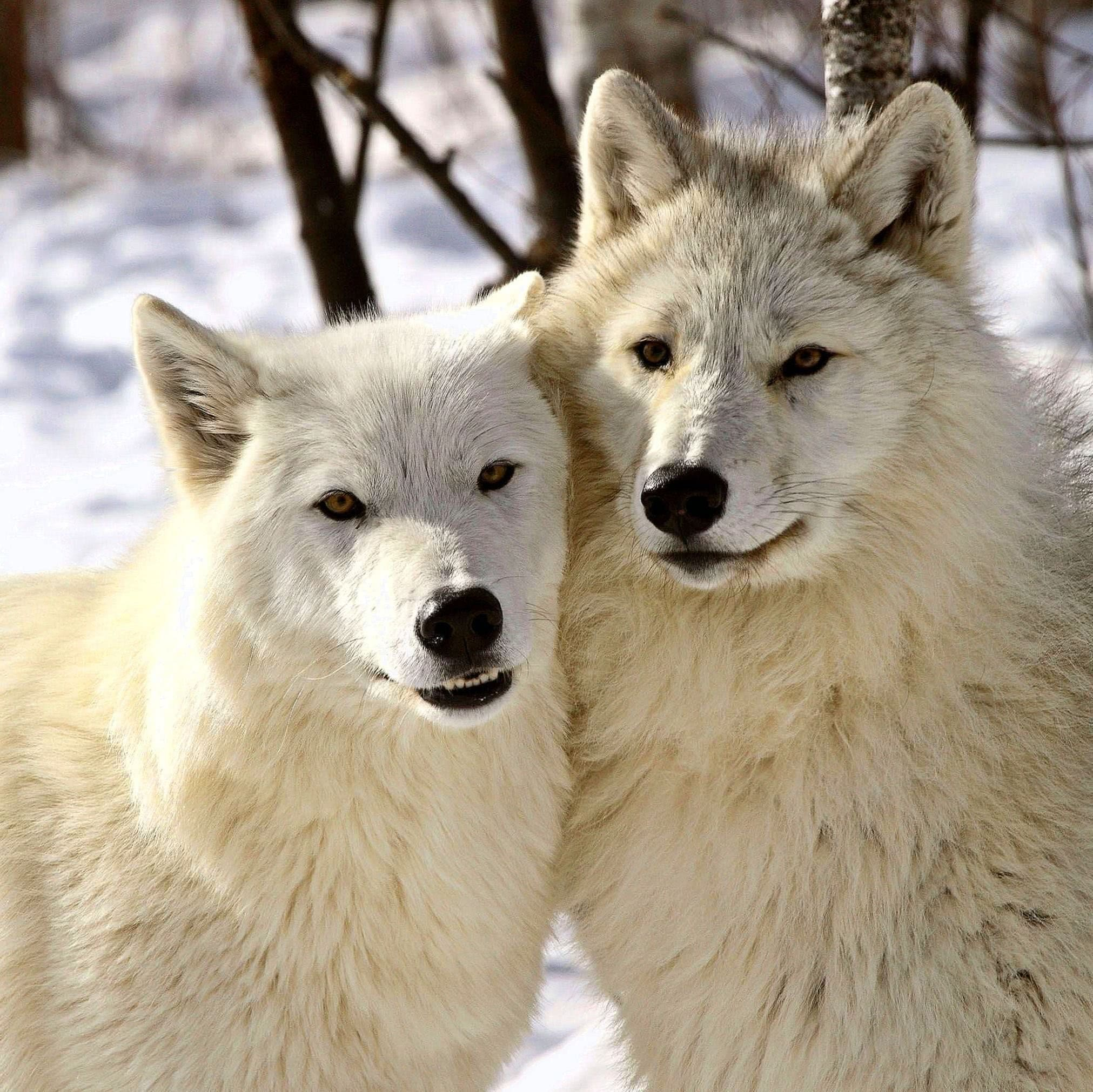 Arctic Wolves Wallpapers