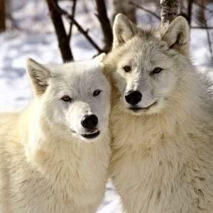 Arctic Wolf Desktop Wallpapers