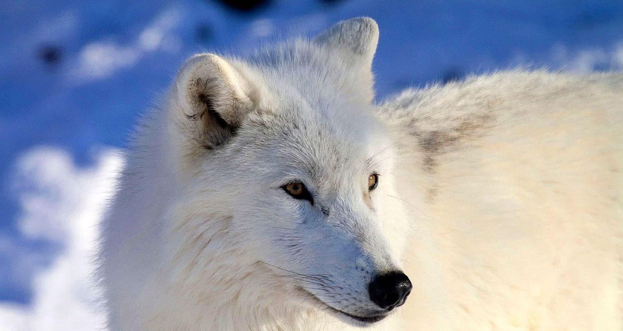 HD Arctic Wolf Wallpaper