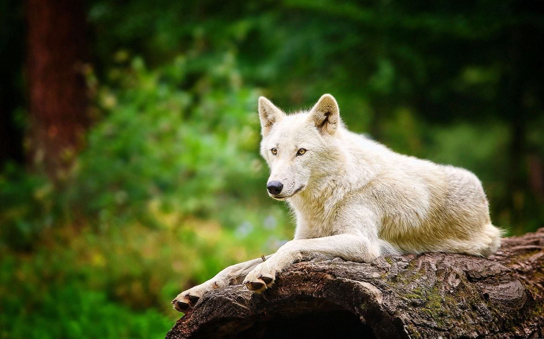 Arctic Wolf Wallpaper HD
