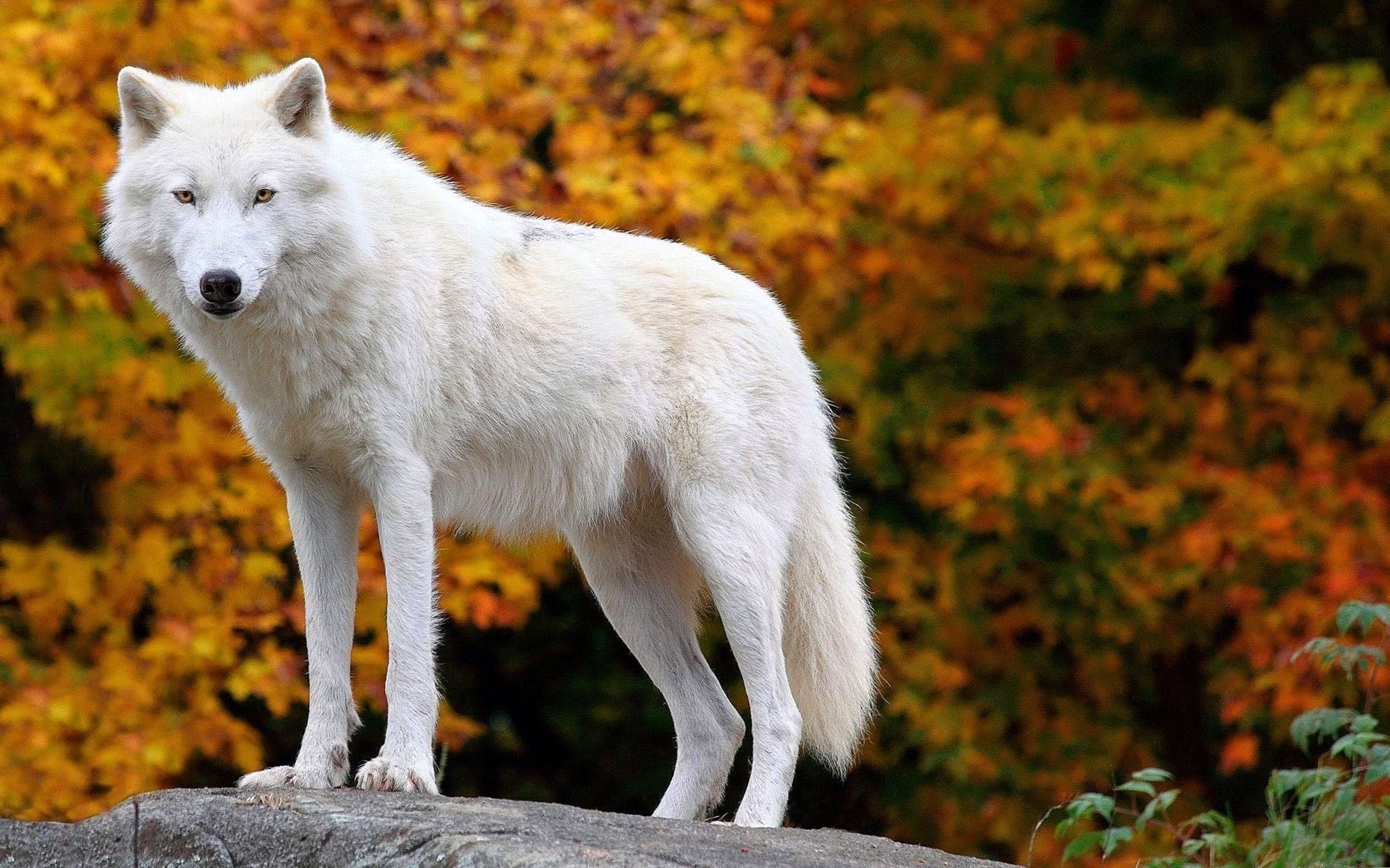 Cute Arctic Wolf Wallpapers