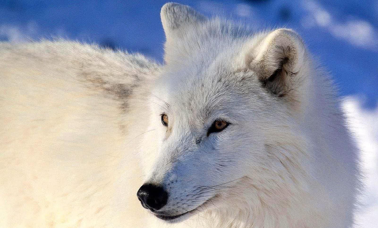 Arctic Wolf Desktop Wallpaper