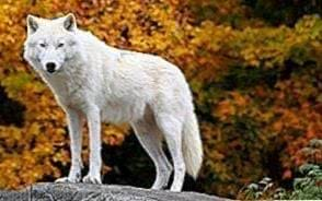 The Arctic Wolf Wallpapers