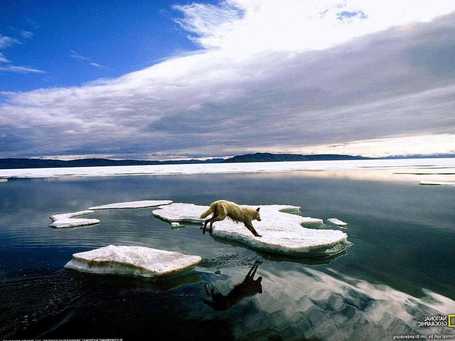 Arctic Wolf Leaping Wallpaper